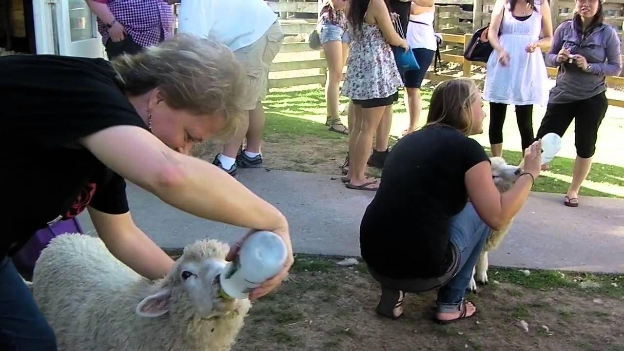 2011 New Zealand   Hobbiton Sheep Feed
